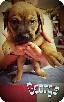Shepherd (Unknown Type) Mix Puppy for adoption in Dallas, Texas - George