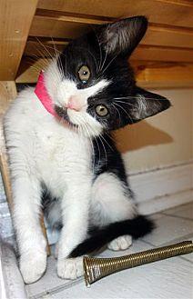Domestic Shorthair Kitten for adoption in Fairfax Station, Virginia - Oreo Cutie-Pie
