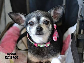 Chihuahua Dog for adoption in Montgomery, Texas - Mona