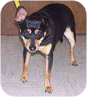 Miniature Pinscher Puppy for adoption in Florissant, Missouri - Presley