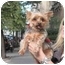 Photo 3 - Yorkie, Yorkshire Terrier Dog for adoption in Long Beach, New York - Savannah