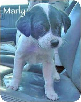 Dalmatian/Labrador Retriever Mix Puppy for adoption in Mandeville Canyon, California - Marly