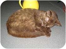 Havana Brown Cat for adoption in Putnam Hall, Florida - Jellybean