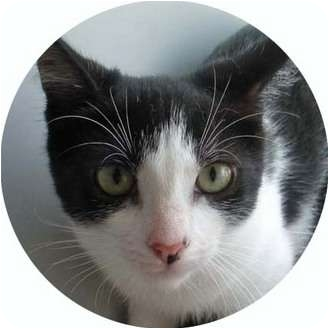 Domestic Shorthair Kitten for adoption in Brooklyn, New York - Dick Tracy