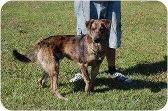 Catahoula Leopard Dog Mix Dog for adoption in North Judson, Indiana - Reese