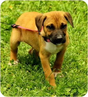 Boxer Mix Puppy for adoption in Foster, Rhode Island - Colton