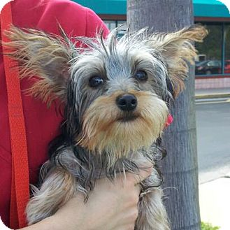 Yorkie, Yorkshire Terrier Puppy for adoption in Coral Springs, Florida - Jasper