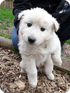 Samoyed/Husky Mix Puppy for adoption in Salem, Oregon - Jack the Husky