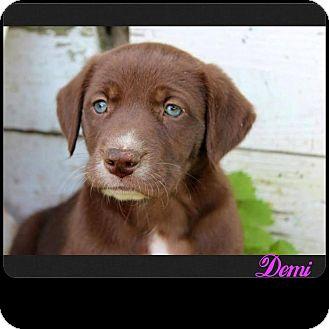 Mountain Cur Mix Puppy for adoption in Garden City, Michigan - Demi