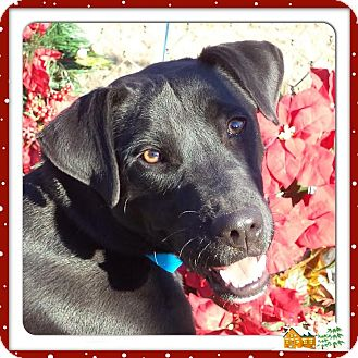 Labrador Retriever Mix Dog for adoption in Marietta, Georgia - CHIPPER