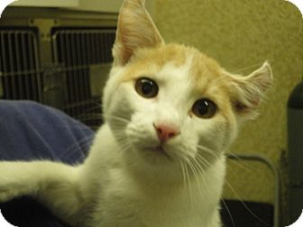 Domestic Shorthair Cat for adoption in Craig, Colorado - Biscuit