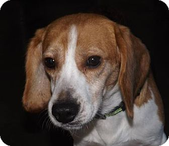 Beagle Mix Dog for adoption in Henderson, North Carolina - Lucky