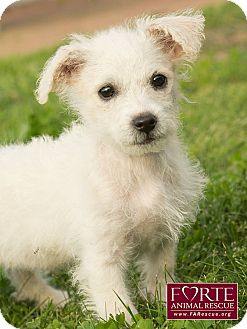 Terrier (Unknown Type, Small) Mix Puppy for adoption in Marina del Rey, California - Chrissy