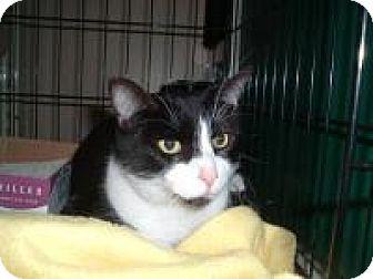 Domestic Shorthair Cat for adoption in Avon, Ohio - Samson