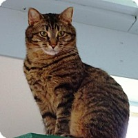 Domestic Shorthair Cat for adoption in Belleville, Michigan - Cobra