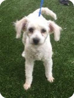 Poodle (Miniature) Mix Dog for adoption in Las Vegas, Nevada - Ava
