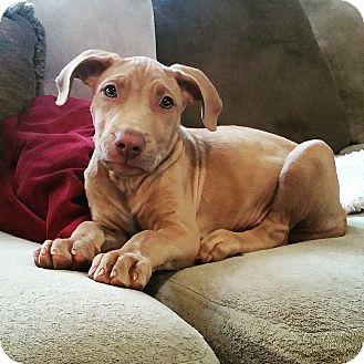 Vizsla/Pit Bull Terrier Mix Puppy for adoption in nashville, Tennessee - Byrdie Boyd