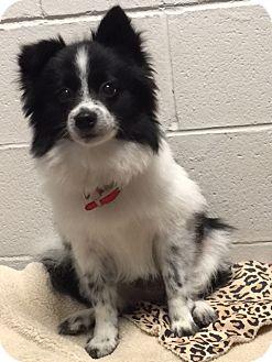 Pomeranian Mix Dog for adoption in conroe, Texas - Shakova