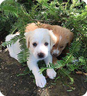 Golden Retriever/Basset Hound Mix Puppy for adoption in Hagerstown, Maryland - Marlin