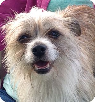 Shih Tzu/Terrier (Unknown Type, Small) Mix Dog for adoption in St. Paul, Minnesota - Freya