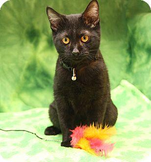 Domestic Mediumhair Kitten for adoption in Marietta, Ohio - Jax (Combo Tested & Neutered)