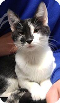 Domestic Shorthair Kitten for adoption in West Warwick, Rhode Island - Star