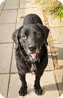 Labrador Retriever Mix Dog for adoption in Lancaster, Pennsylvania - Larry