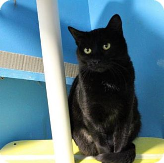 Domestic Shorthair Cat for adoption in West Des Moines, Iowa - Peach