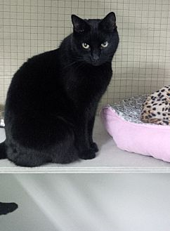 Domestic Shorthair Cat for adoption in Mission, British Columbia - Tug