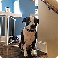 Adopt A Pet :: Carl-courtesy post - Schaumburg, IL