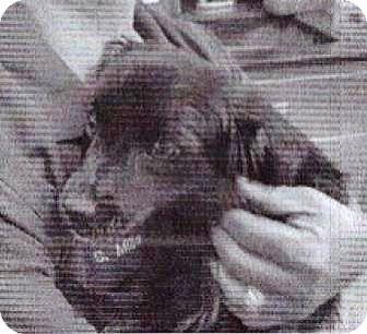 Cocker Spaniel Mix Dog for adoption in Spokane, Washington - Mason