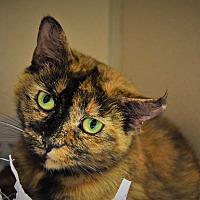 Domestic Mediumhair Cat for adoption in Pottsville, Pennsylvania - Nikki