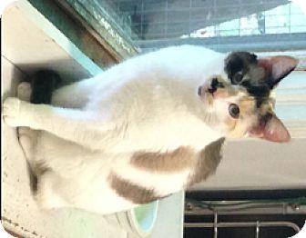 Domestic Shorthair Cat for adoption in Milton, Massachusetts - Freyja