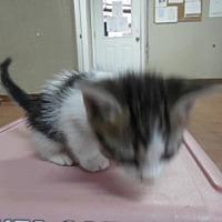 Adopt A Pet :: Sunshine - Clarksville, AR