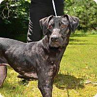 Adopt A Pet :: Scarlette - Siler City, NC