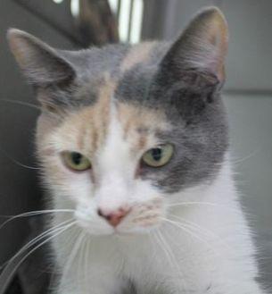 Domestic Shorthair/Domestic Shorthair Mix Cat for adoption in Robinson, Illinois - Lyla
