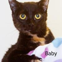 Domestic Shorthair/Domestic Shorthair Mix Cat for adoption in Cedar Rapids, Iowa - Baby