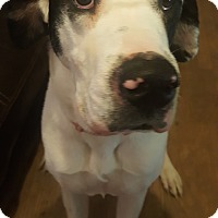 Adopt A Pet :: Lilly - St. Louis, MO