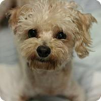 Adopt A Pet :: Laverna - Canoga Park, CA