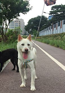 Jindo/Terrier (Unknown Type, Medium) Mix Dog for adoption in Fairfax, Virginia - O-Gong