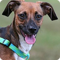 Adopt A Pet :: Scooby - Rockingham, NH