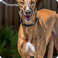 Adopt A Pet :: Cosmo - Walnut Creek, CA