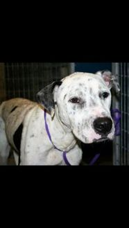Dalmatian Mix Dog for adoption in Fort Worth, Texas - 35845695