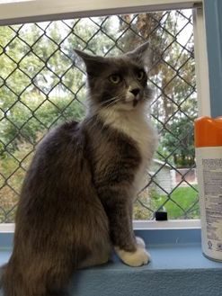 Domestic Mediumhair/Domestic Shorthair Mix Cat for adoption in Lynnwood, Washington - Malachi