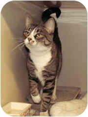 Domestic Shorthair Cat for adoption in Milton, Massachusetts - Sydney