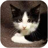 Domestic Shorthair Kitten for adoption in Chicago, Illinois - Harrison