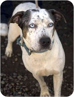 Australian Cattle Dog/Pit Bull Terrier Mix Dog for adoption in Tangent, Oregon - Jazzy