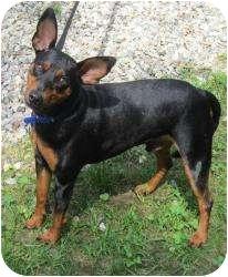 Miniature Pinscher Mix Dog for adoption in Bloomfield, Connecticut - Silvio