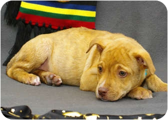 Boxer/Shepherd (Unknown Type) Mix Puppy for adoption in Westminster, Colorado - LUPIN