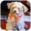 Photo 1 - Poodle (Miniature) Mix Puppy for adoption in Calgary, Alberta - Lady